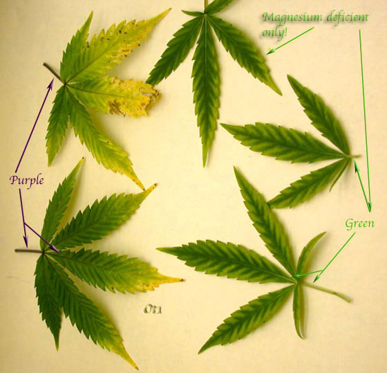 Pale green yellow leaves with green veins sick plants uk420 post 29390 1265790095thumbg mightylinksfo