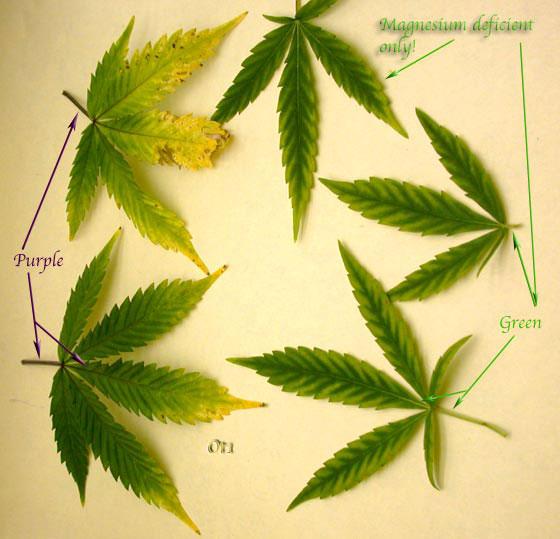 Poor little bud page 2 sick plants uk420 post 54783 0 13690700 1313866457thumbg mightylinksfo