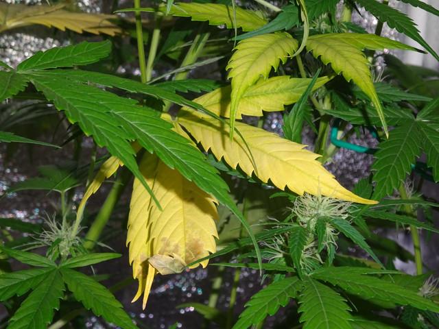 Yellow-Leaves-2.jpg