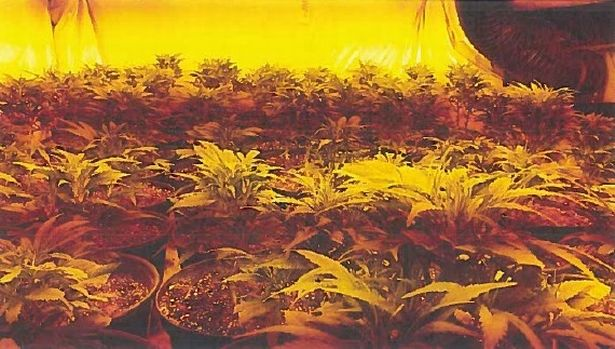 The cannabis farms operated by a gang of Vietnamese men, who had a HQ in Runcorn