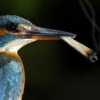 kingfisherblues