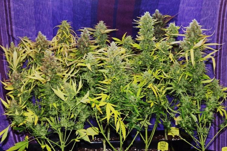 black jack planta