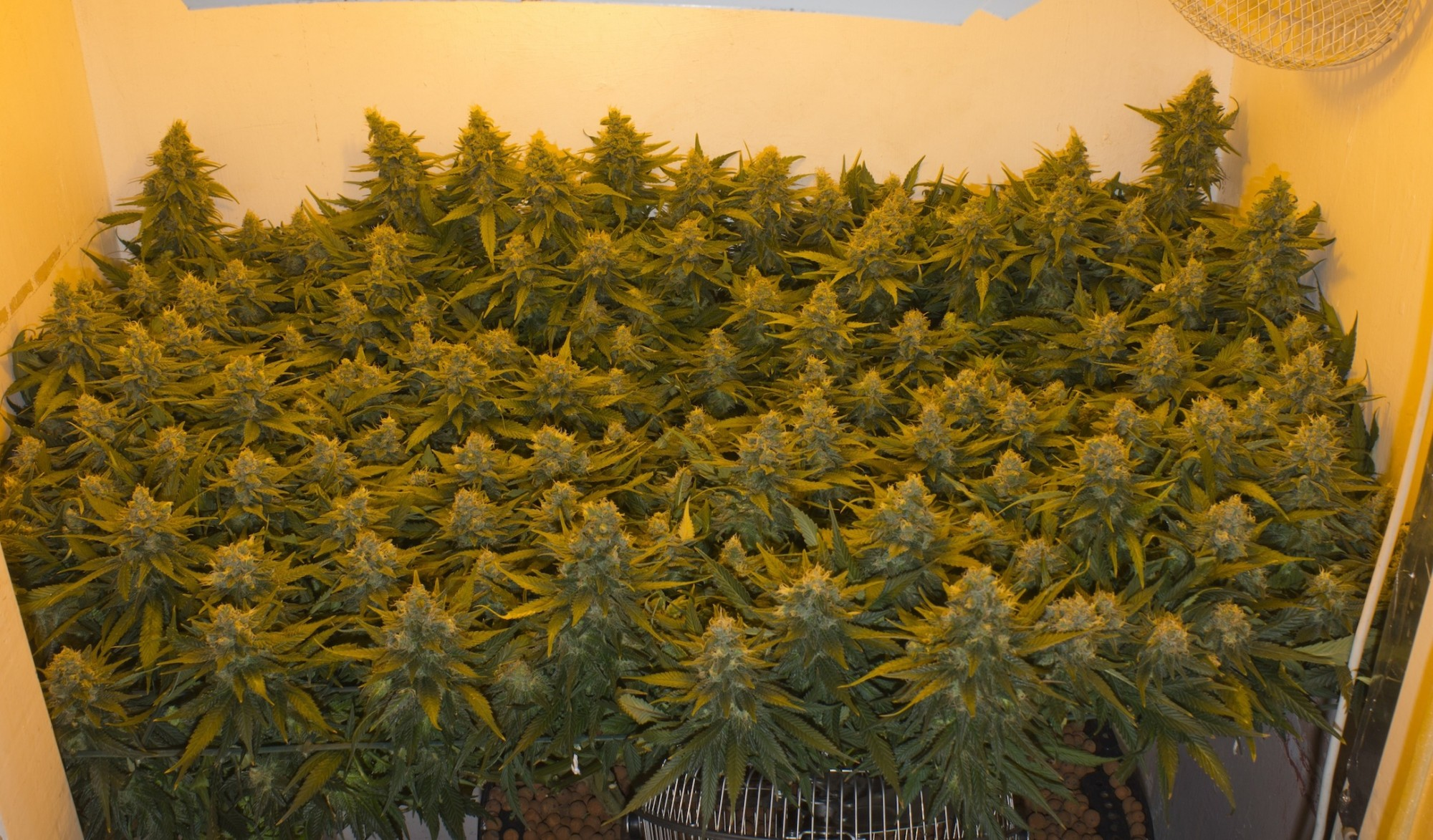 Rizzo30 S First Organic Grow Grasscity Forums