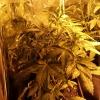 fast bud 23 days