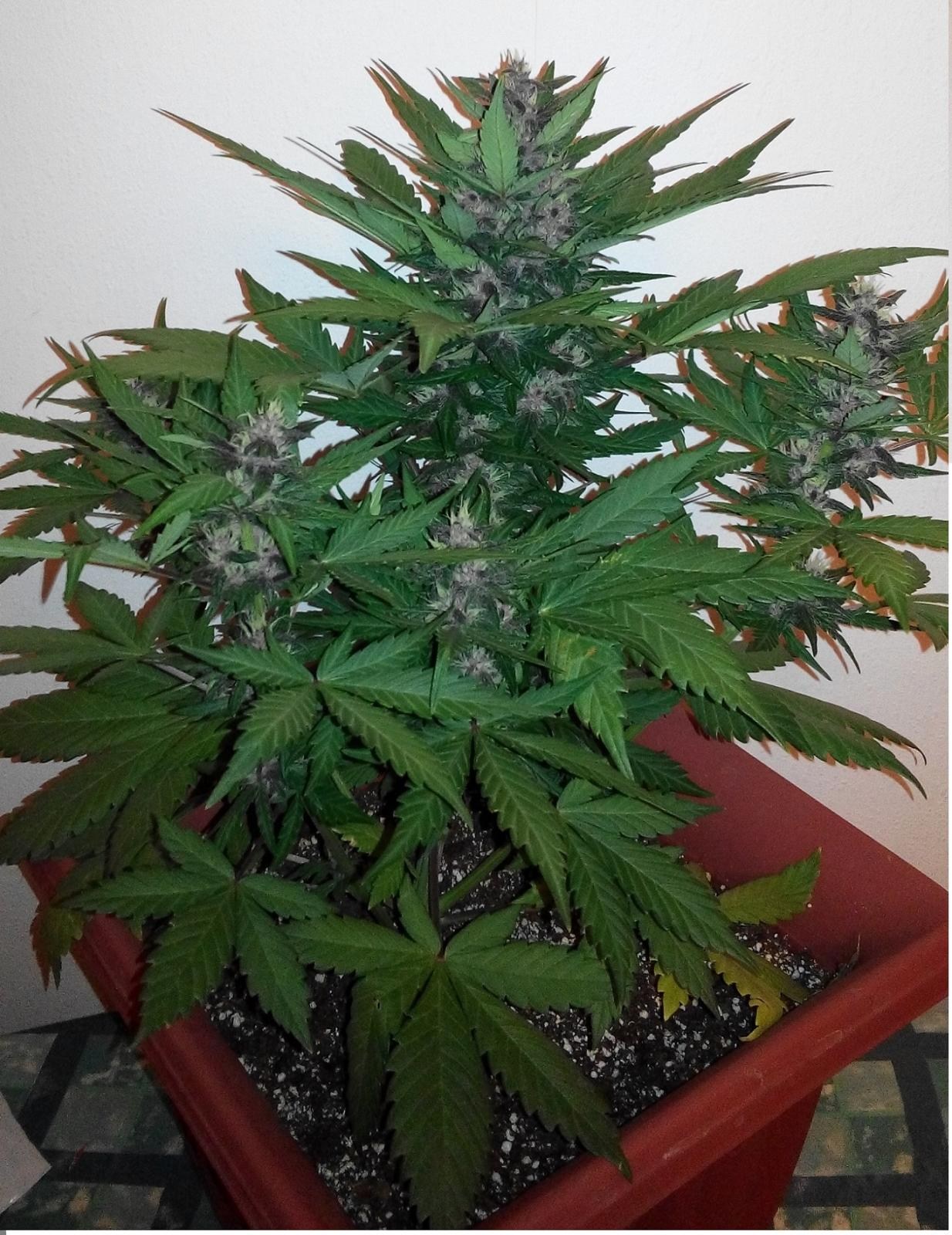 Dark devil x2 organic soil grow sweet seeds uk420 for Organic soil uk