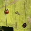 Scabby  ladybird