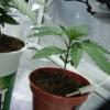 Plan C   Ugorg Blues   Day 10 Seedling Day 10