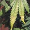 sick plant skunk 5