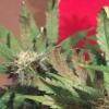 sick plant skunk 4
