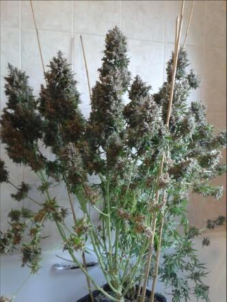 Yield Debate, Organic auto flower  - Auto Flowering - UK420