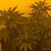 Day 13 12/12 Critcal Kush in soil