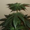 pak 2 weeks flower