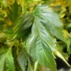 Webbed canna leaf-Dutch Passion.