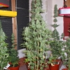 PowerPlant 12 12  Day 70  10wks 004