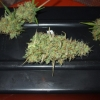 PP Harvest 12 12  Day 88  12wks 021