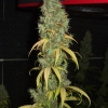 PP Harvest 12 12  Day 88  12wks 015