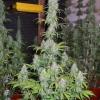 PowerPlant 12 12  Day 70  10wks 007