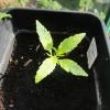 seedling 8