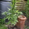 auto paradise seeds 4th august 2