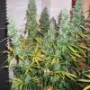 DF Harvest 104  74 007