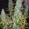 DF Harvest 104  74 163