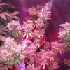 Day 91 flowering - Silver Bubble #2 Harvest #4