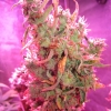 Day 91 flowering - Silver Bubble #2 Harvest #2