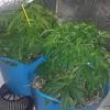 ww x bb (1st grow)