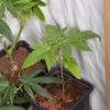 Hazeman white hashplant