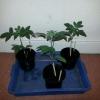 OG Kush seedlings