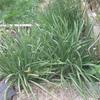 591afd658512d-garlicchives.jpg