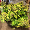 Mephisto Sour Livers plant1 at cut.JPG