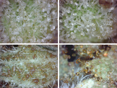 large.5a6907a7e8ac2_Trichomes-ClearvsAmber(2015-Nov-28)400x300.PNG
