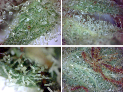 large.5a6907b0522db_Trichomes-GoodvsEvil(2017-Oct-11)400x300.PNG