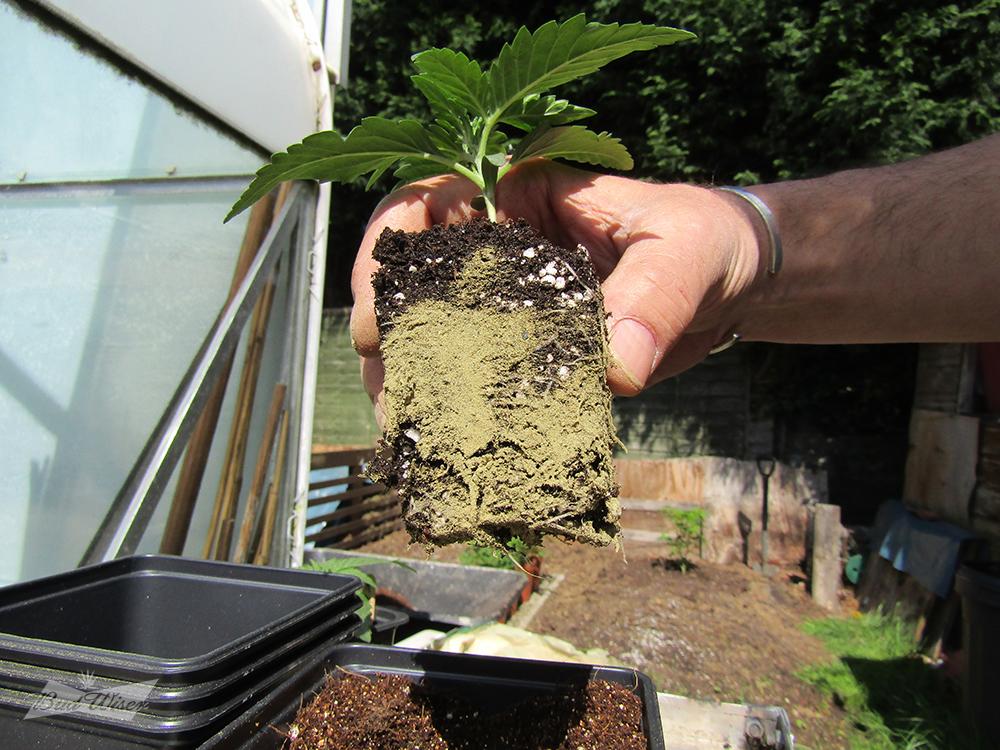 large.5ae8edcc84e59_C2auto-roots-mycorrhizal.jpg