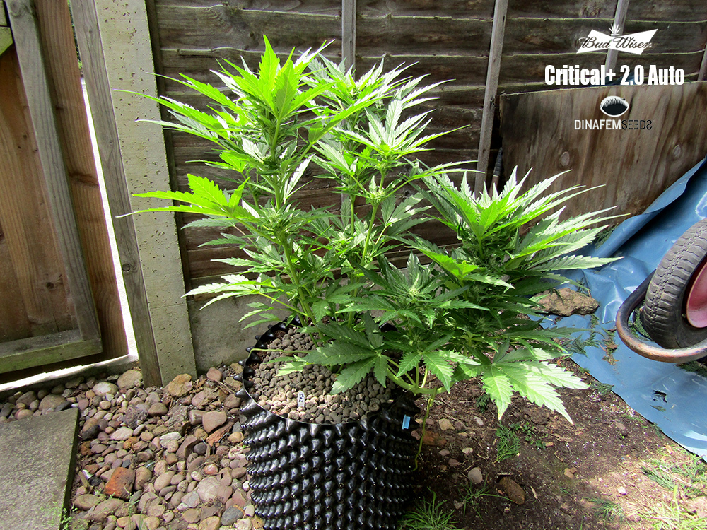 large.C2Auto-pot-46days-1.jpg