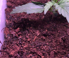 HPB: First Grow - Auto Speed Bud (Female Seeds)