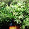 Gorilla_Master kush_crowded veg tent-1.jpg