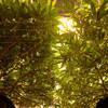Dark Plasma Week 2 Flower Under Canopy.jpg