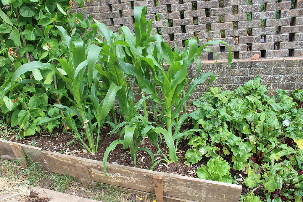 large.5b3a1f7c18200_sweetcornpatch2.jpg
