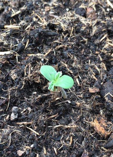First Outdoor UK Autoflower Grow - Guerrilla Growing - UK420