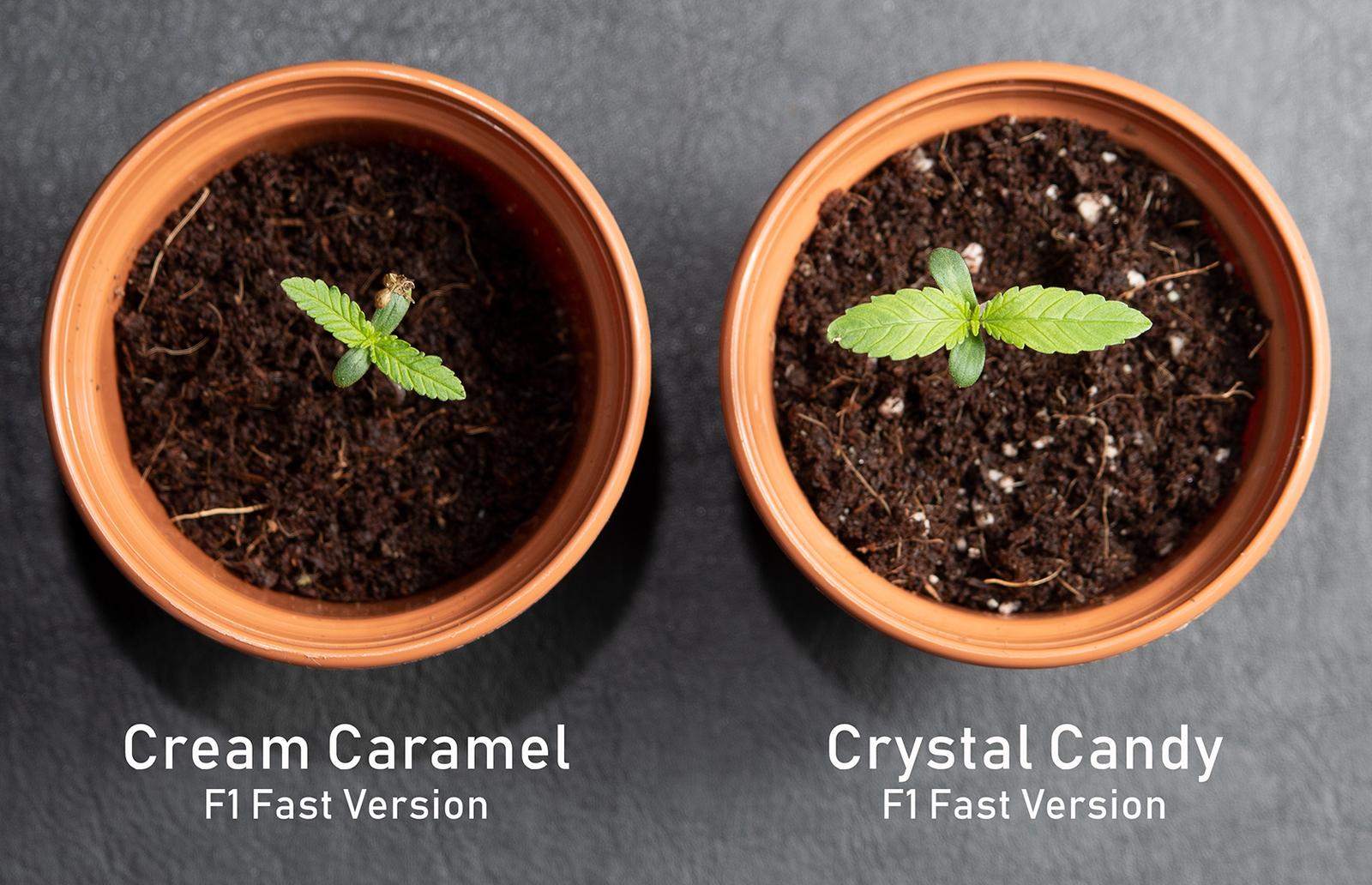 large.5bc9f27e2342c_Cream-Caramel-CrystalCandy.jpg
