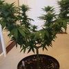 Purple orange cbd ( 3 weeks 21 days in flower )