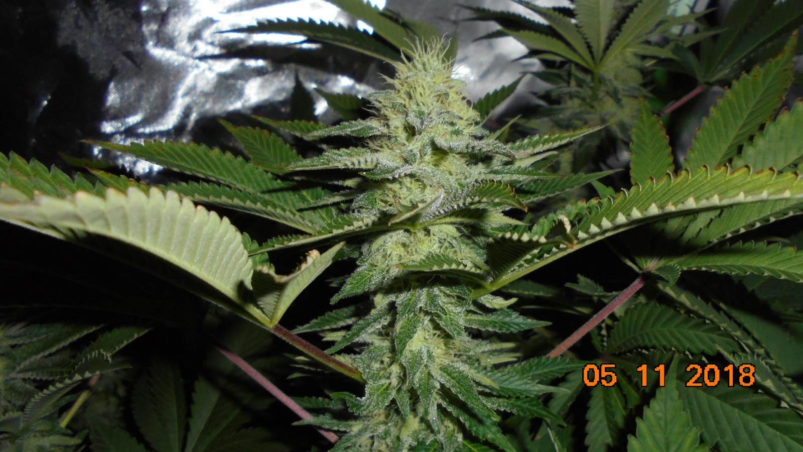 large.5be1647940c0c_Bluekushberryday40(2).JPG