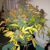 Forum Stomper whole plant