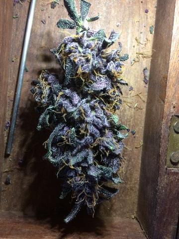medium.Purple.JPG.e3254be957cd715bc7ca03a6045c0c02.JPG