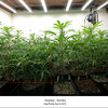 Dinafem - Gorilla sog plants day 14 12/12