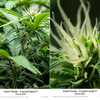 Sweet Seeds - Crystal Candy F1 Day 16 12/12 Bud and Trichome Development