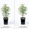 Dinafem - Gorilla Sog Plants Day 20 12/12 Before/After Lollipop