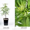 Dinafem - Gorilla Sog Plants Day 20 12/12